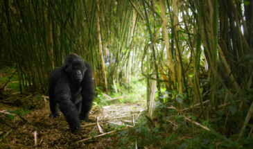 RWANDA_female_mountain_gorilla_bamboo_jungle