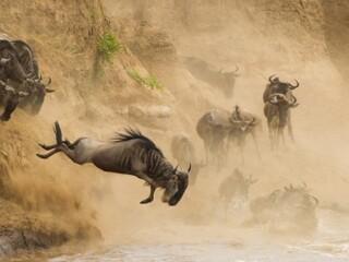 Mara River wilderbeests