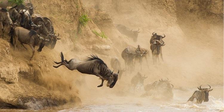 mara-river-wilderbeests