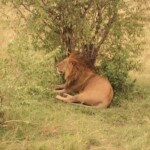 see-the-king-of-the-jungle-the-lion