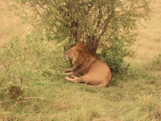 See the King of the Jungle the Lion