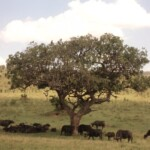 the-african-cape-buffalo