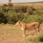 the-lioness-in-the-mara