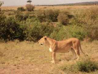The Lioness in the Mara