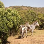 the-zebra